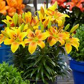 Lily Golden Joy
