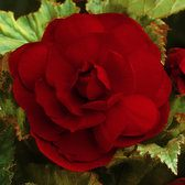 Begonia Double Exhibition Crimson 5/6cm