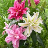 Lily Double Oriental Roselilies Collection