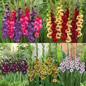 Gladioli Glamourglad Collection