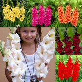 Gladioli Large Flowering Alternative Collection