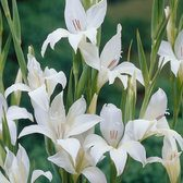 Gladioli nanus The Bride