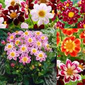 Dahlia Collarette Collection