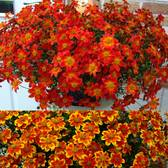 Bidens Beedance Collection