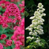 Centranthus Ruber Collection