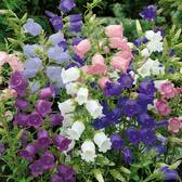 Canterbury Bells Mixed (campanula Medium)
