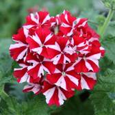 Verbena Red Star