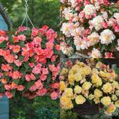 Begonia Fragrant Sweet Spice Mixed