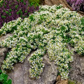 Aster Ericoides Snow Flurry