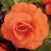 Begonia Double Orange 4cm+
