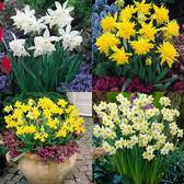 Narcissi Dwarf Collection