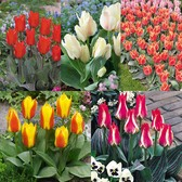 Tulip Dwarf Rockery Greigii Collection