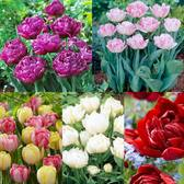 Tulip Double Early Collection