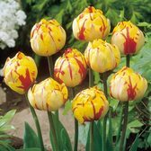 Tulip Golden Nizza