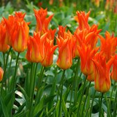 Tulip Flutes On Fire