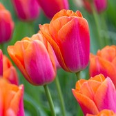 Tulip Orange Dynasty