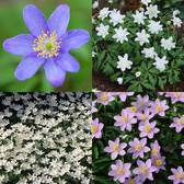 Anemone Early Spring Collection