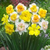 Daffodil Orchid Mixed