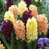 Hyacinth Autumn Colours Mixed 17/18cm