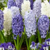 Hyacinth Fragrant Sea Mixed 17/18cm