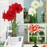 Amaryllis Double Flowered Collection 28cm+