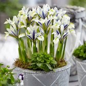 Iris Reticulata Eye Catcher