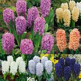 Hyacinths Top Size Collection 17/18cm