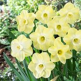 Narcissi Avalon