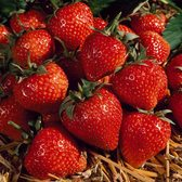 Strawberry Cambridge Favourite (mid Season)