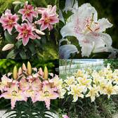 Dwarf Oriental Lily Collection