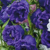 Campanula Medium Double Blue