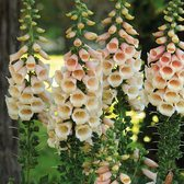 Digitalis Hardy Apricot Beauty