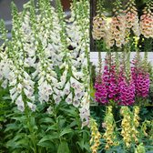 Digitalis Collection (foxgloves)