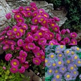 Erigeron speciosus Collection