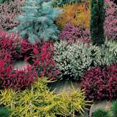 Heathers Summer Mixed (Calluna)