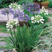 Agapanthus Mixed