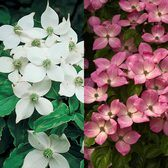 Cornus Kousa Collection