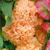 Double Hollyhocks Apricot (Alcea)