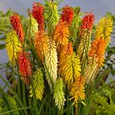 Kniphofia Mixed