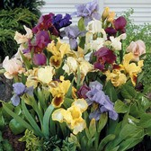 Iris pumila Mixed (Dwarf Bearded)
