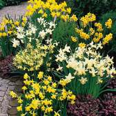 Narcissi Dwarf Rockery Mixed