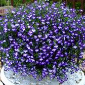 Lobelia California Dark Blue Eye