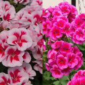 Geranium Basket Zonal Sunrise Collection