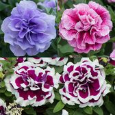 Petunia Tumbelina New Collection