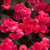 Begonia Semperflorens Doublet Red
