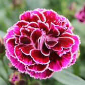 Dianthus Patio Devine Bicolour Bordeaux