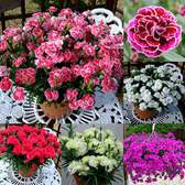 Dianthus Patio Devine Collection