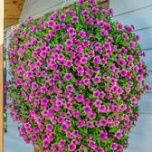 Petunia Buzz Purple