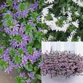 Scaevola Collection