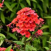 Phlox Paniculata Orange